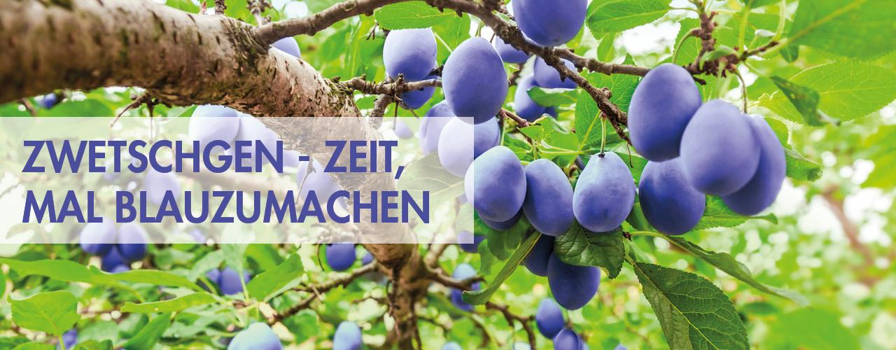Zwetschgenzeit - Obstgehölze in ihrer Gärtnerei